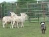 eli-sheep4-classic07_27_4112