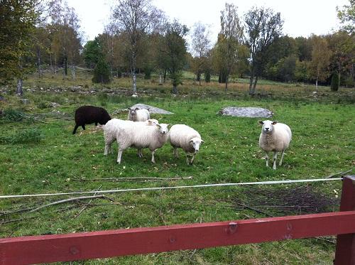sheep_sept2011