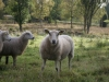 sheep808
