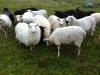 sheep_okt2011