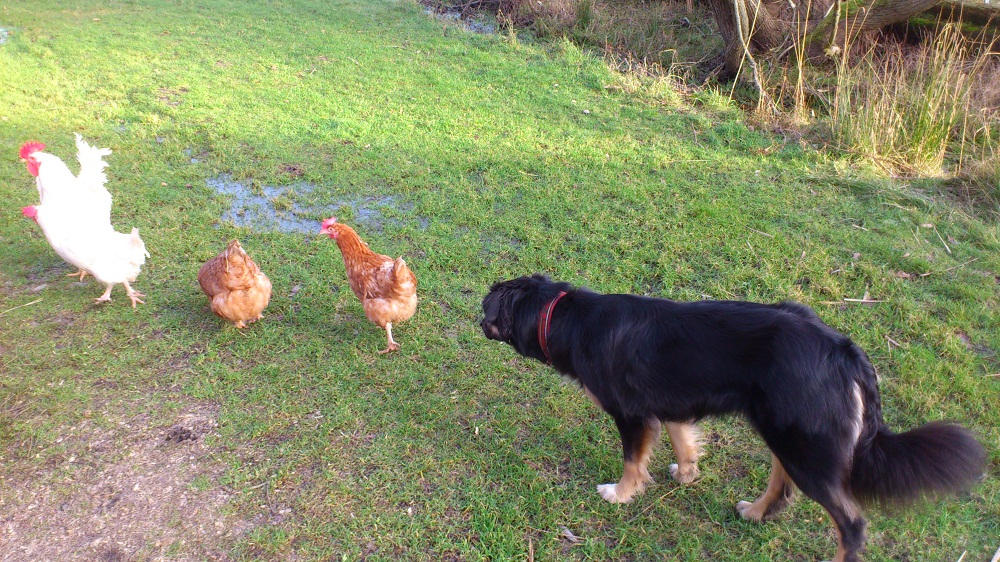 nova_chickens